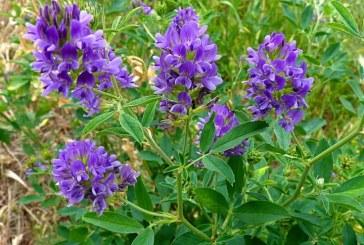 Борба с плевелите при някои бобови фуражни култури –  част 2