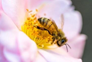 Белтъчно недохранване на пчелите – проблем с решение