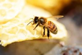 Повече от 200 пчелни семейства са унищожени от безконтролно пръскане с препарати във Варненско