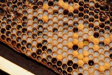 Заразни болести по пчелите