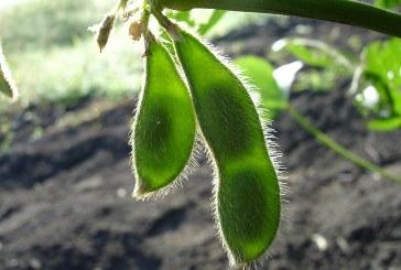 Химична борба с плевелите при соята – част 3