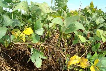 Химична борба с плевелите при соята – част 2