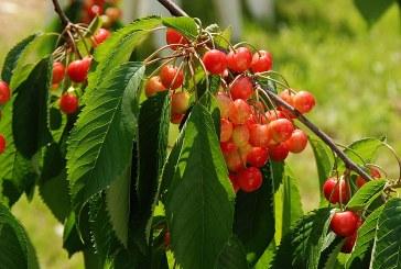Как да създадем черешова градина