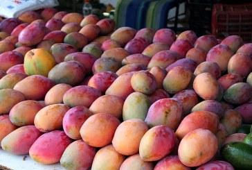 Свръх реколта от манго прибраха филипинците
