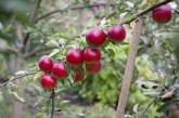 Защо е нужно укрепване на клоните на овощните дървета
