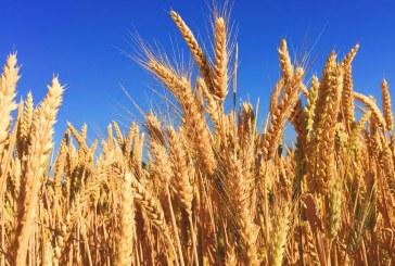 530 кг/дка е средният добив на пшеница в Добричко