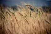 Пшеницата по борсите поскъпна още в първите дни на новата година