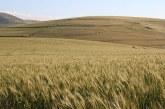 При пшеницата ще се наблюдава фенофаза млечна зрялост