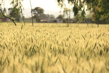 На Софийската стокова борса пшеницата се търси на цена 250 лв./тон