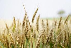 Рязко поскъпна пшеницата на стоковите борси