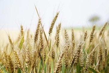 При пшеницата ще протичат фазите трети лист, преход към братене и братене