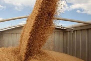 535 кг/дка е средният добив на пшеница в Русенско