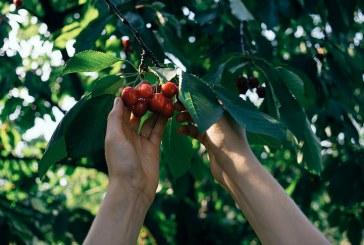 Жандармерия отново ще пази масивите с череши (ВИДЕО)