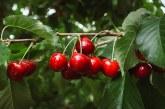 Признатите организации на производителите на череши и вишни също ще получават помощ за реализация на реколтата