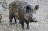125 диви свине са отстреляни от началото на август на територията на СЦДП