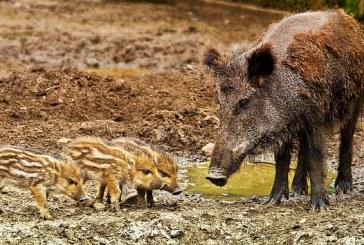 Все още не са готови резултатите от пробите на дивото прасе, намерено край с. Киселица