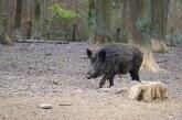 Диви прасета нанасят огромни щети на зърнопроизводителите в Болярово