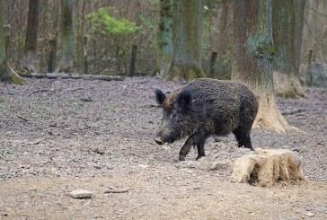 Наполовина трябва да се намали популацията на дивите свине у нас