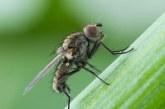 Лукова муха