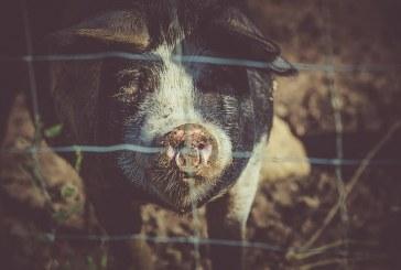 """Учен оцени оградата и """"вълчата урина"""" срещу АЧС"""