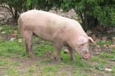 165 прасета са умъртвени хуманно заради африканската чума в Русенско