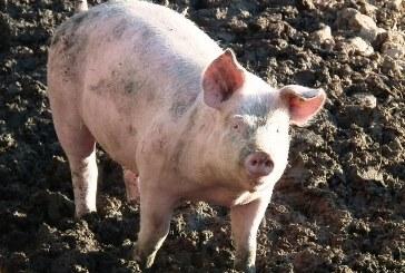 """Д-р Златина Димова, ОДБХ-Варна: Ще проверим стопанствата тип """"заден двор"""" за нерегистрирани прасета в областта"""