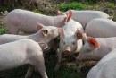 Още един свинекомплекс с АЧС