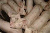 225 домашни прасета са евтаназирани в Плевенско