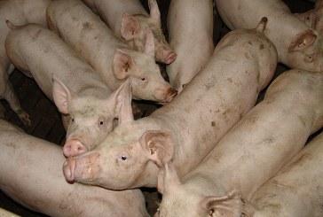 За първи път от 20 години: АЧС свали световното производство на месо