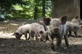 Умъртвиха 99 прасета в Ахелой, укрити от собствениците им