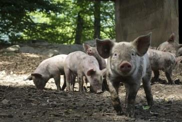 В Ямболско протестират срещу клането на домашните свине