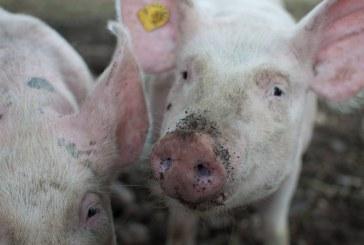 АЧС засегна свинекомплекс с близо 17 000 прасета