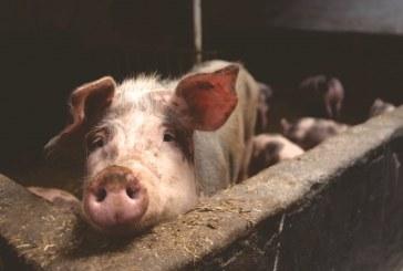 Продават домашни прасета за 2-3 лв/кг живо тегло в социалните мрежи