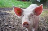 Избухването на АЧС в Азия оказва силно влияние на пазарите на месо