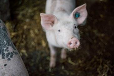 Спешно трябва да бъдат умъртвени животните в свинекомплекса в Бръшлен