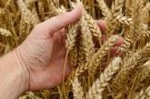 Първата пшеница в Добричка област е поникнала след дъждовете