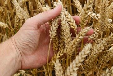 Сортови описания на пшеница