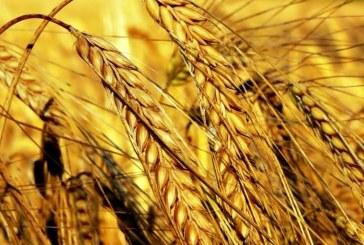 Няма търсене на хлебна пшеница на борсите