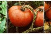 Алтернария по доматите