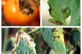Разпространение и защита от алтернарията по доматите
