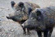Удължават срока за групов лов на дива свиня до 16-ти февруари