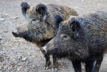 Заразени с АЧС диви прасета са открити в Ловешко и Бургаско