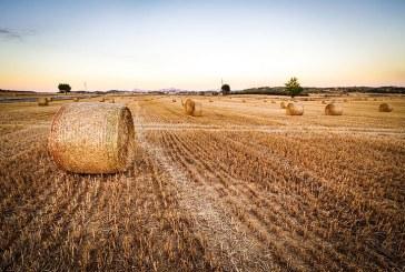 516 кг/дка достигна средният добив на пшеница тази година