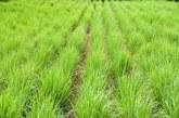 Лимоновата трева е полезна за щитовидната жлеза