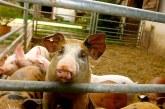 Стопаните във Видинско могат да подават заявления за обезщетения за доброволно закланите прасета