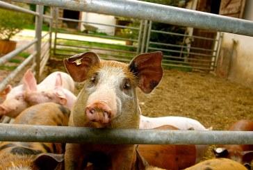 Заради АЧС няколко държави забраниха вноса на сръбско свинско месо