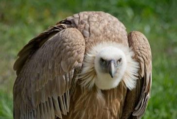 С пестициди безнаказано тровят защитени птици в Искърското дефиле