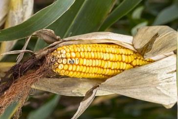 Средните добиви на фуражна царевица в Разградско превишиха миналогодишните