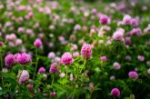 Тази билка ще Ви помогне при менопауза
