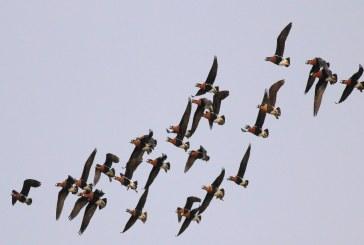Червеногушите гъски стартираха есенната си миграция